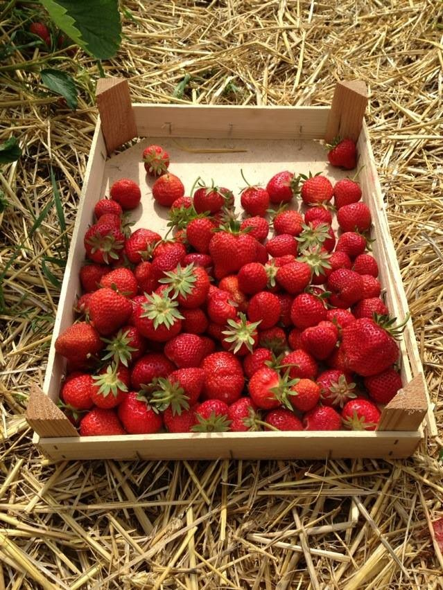 strawberry fields gais, Angel kissing spring, cherries, Strawberries, Gais Switzerland