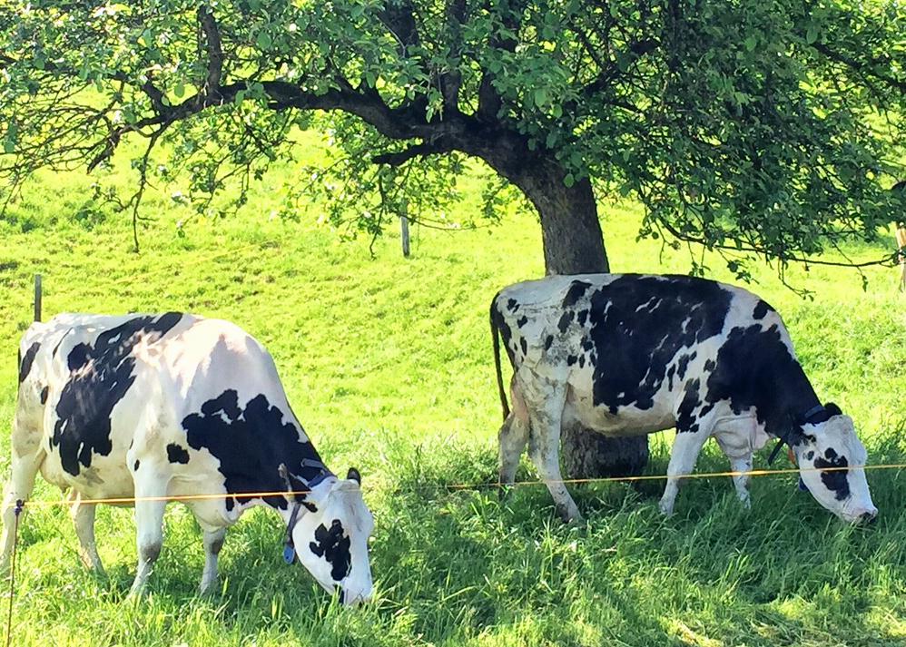 local cow gruyere, gruyere, Saane river, Switzerland