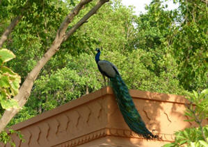 oberoi rajvilas peacock